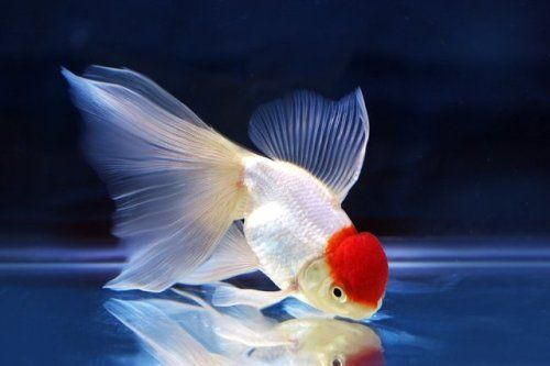 Aquariumtalks A Beautiful Red Cap Oranda Goldfish They Are Aquariumtalks A Beautiful Red Cap Oranda Goldfish Th Oranda Goldfish Goldfish Fish Tank