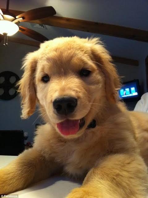Cute Golden Retriever Music Indieartist Chicago Retriever Puppy Golden Retriever Puppy Golden Retriever