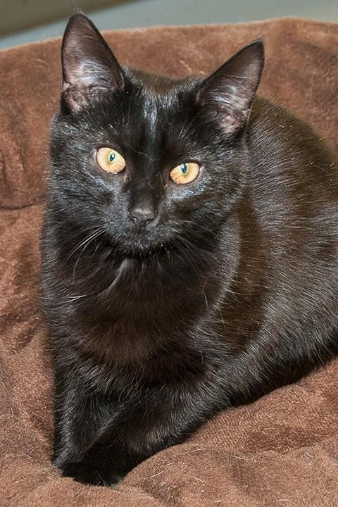 Meet BabyRuth, a Petfinder adoptable Domestic Short Hair Cat | Terryville, CT | She is a shiny all black half- grown sweety. She has an outgoing personality, greets everyone with...