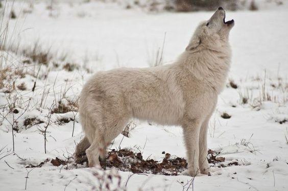 Arctic Wolf8 Hunde Futter Hunde Hundefutter
