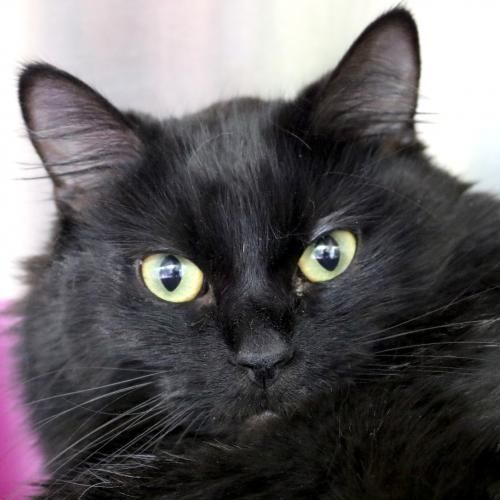 Hi I M Sylvie I M A 2 Year Old Spayed Female Black Domestic Medium Hair Animals Cute Cats Crazy Cats
