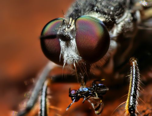 Robber Fly (Atomosia puella) with Prey