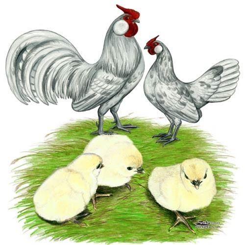 Where To Buy Splash Rosecomb Bantam Chicken Efowl Aves De