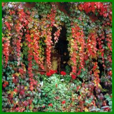 Wilder-Wein ist eine schnell wachsende Kletterpflanze.  Beide Arten Wilder-Wein sind recht robust und kommen mit nahezu allen Lichtverhältnissen zurecht  http://www.gartenschlumpf.de/wilder-wein/