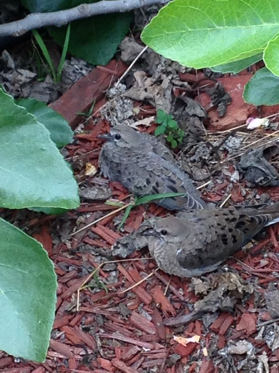 Fledgling Mourning Doves... under my Fig tree.