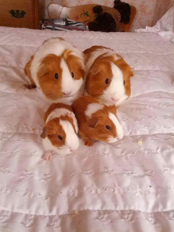 Awesome guinea pig family!!  The best timothy hay is NOT sold in stores, but it IS sold on AMAZON! Be sure to bookmark this link:  http://www.amazon.com/Small-Pet-Select-Timothy-Delivered/dp/B009ZINU5K/ref=sr_1_10?ie=UTF8=1368306217=8-10=timothy+hay