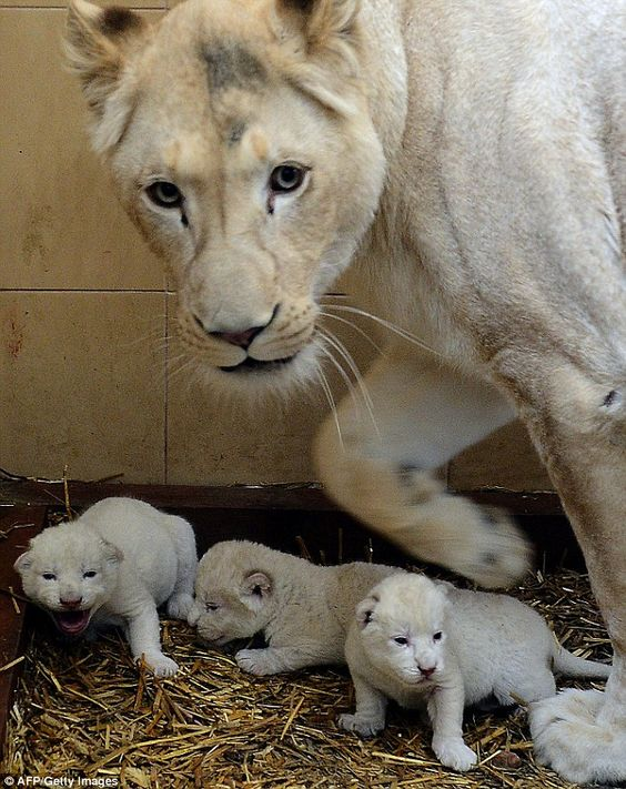 Newborn white lion triplets take their first steps in new ...