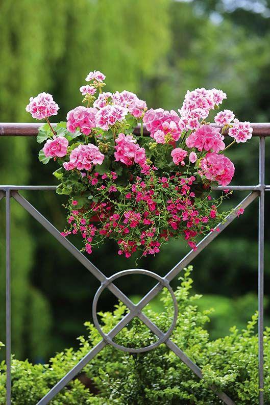 Pelargonie Krolowe Balkonow I Tarasow Pelargonie Kwiaty Kwiatynabalkon Dekoracjekwiatowe Dekoracjezkwiat Garden Trees Floral Arrangements Small Balcony