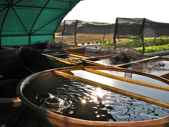 Aquaponicos de El Salvador   Locavore del Mundo