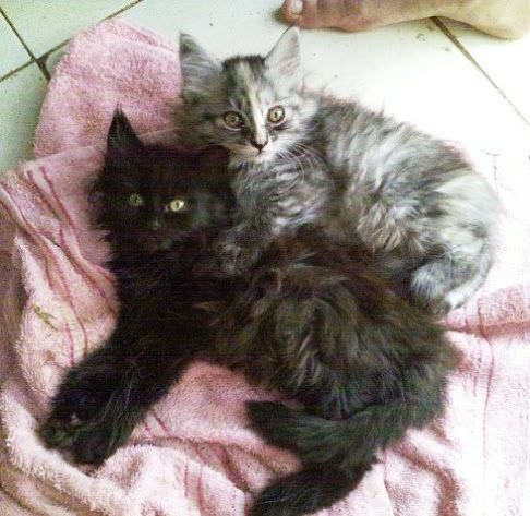 Maine Coon Cats Pictures Of Kittens Cats Pinterest
