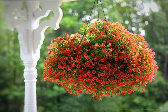 Calibrachoa 'Callie Orange' Basket ⓒ fertilize every 7 - 10 days