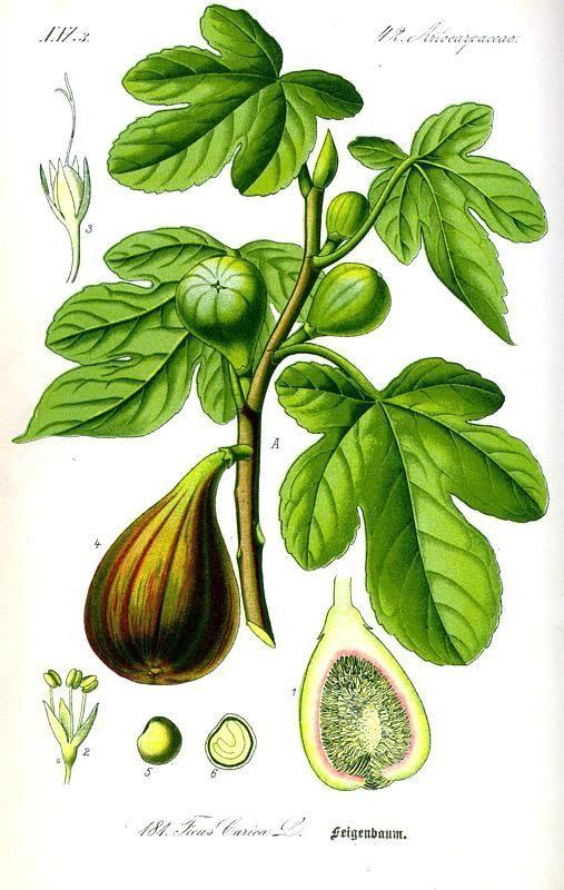 Botanical – Fruit – Ficus, fig tree  Flora von Deutschland Österreich und der Schweiz (1885):