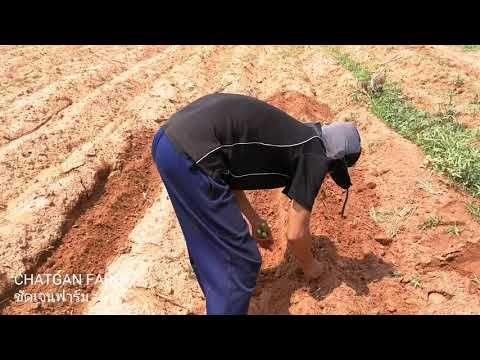 เทคน คการปล กหญ าหวานอ สราเอล เนเป ยร แคระ ในแบบฉบ บของช ดเจนฟาร ม Chatgan Farm Youtube