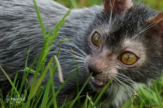 lykoi cat: Breeds Of Cats, Amazing Cats, Cat Breeders, Cats Breeds, Breeders Develop, Lykoi Cats3 Jpg 721, Breeder Discovers, Animals Birds Bees, Breeders Discover