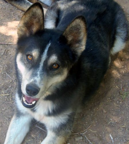 Hawk is a people oriented, young, male husky with a special attitude. He is about 1 1/2 year old.   He was found as a stray and rescued from an overcrowded county shelter.He is sweet, loving and gentle. He can't seem to get enough people...