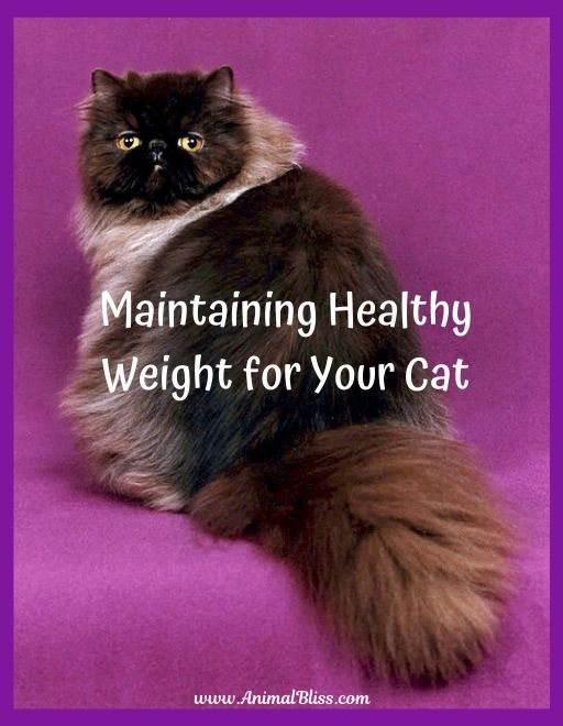 4 Tips For Maintaining Healthy Weight For Your Cat Maintain Healthy Weight Cat Nutrition Healthy Weight