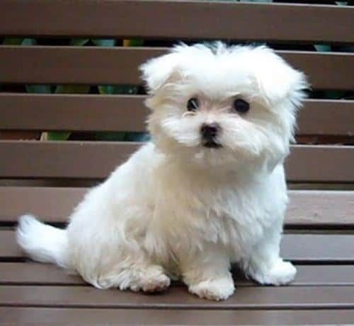16 Pomeranian Mixes All Different Kinds Of Pomi Perfection Maltese Puppies For Sale Puppies Cute Animals