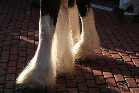 clydesdale feathers