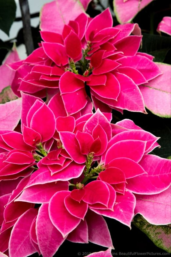 Luv U Hot Pink Poinsettia 2015 by Patty Hankins,Fine Art Floral Photographer.BeautifulFlowerPictures.com