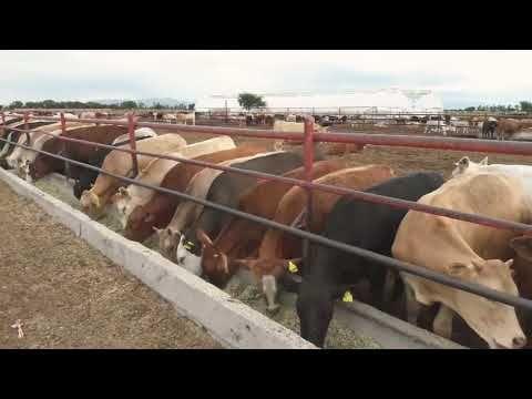 Rancho Los Angeles Durango México Venta De Ganado De Engorda Youtube Ganado De Engorde Venta De Ganado Rancho De Ganado