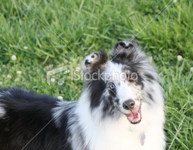 Google Image Result for http://i.istockimg.com/file_thumbview_approve/10369429/2/stock-photo-10369429-blue-merle-shetland-sheepdog.jpg