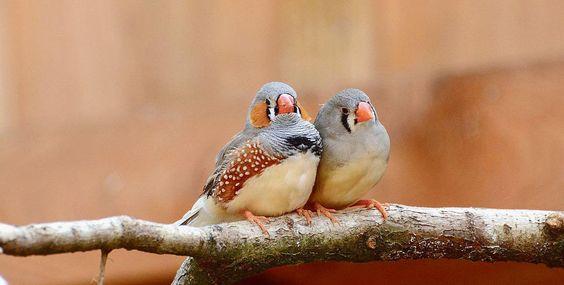 Des chercheurs ont étudié le comportement amoureux de 160diamants mandarins, répartis en 4 groupes de 40 oiseaux chacun.
