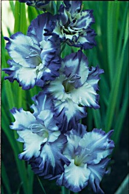 Blue Gladiolus Google Search Blue Flowers Flower Pictures Flowers