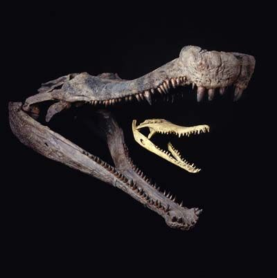Sarcosuchus Fossil Skull in comparison with modern crocodile