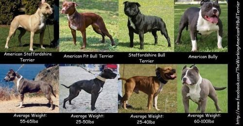 Your Dog Is Not A Pitbull A Guide American Pitbull Terrier Pitbulls Pitbull Terrier