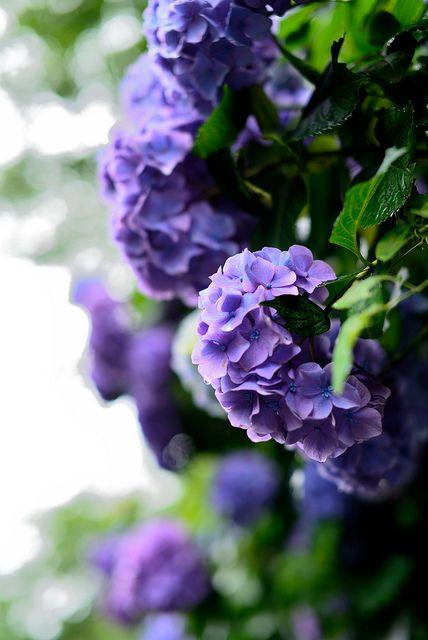 blue/purple hydrangea macrophylla