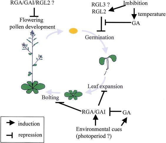 Seed Germination | Gibberellin regulates Arabidopsis seed germination via RGL2, a GAI/RGA ...