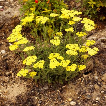 Woolly yarrow  Achillea tomentosa 'Lemon' bears clear yellow flowers in early summer that appear over the 6-inch-tall foliage that's covered in soft, silvery hairs. Zones 4-8
