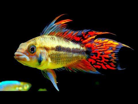 Top 5 Centerpiece Fish For Your Small To Medium Sized Community Aquarium Youtube Community Fish Tank Tropical Fish Aquarium Aquarium Fish