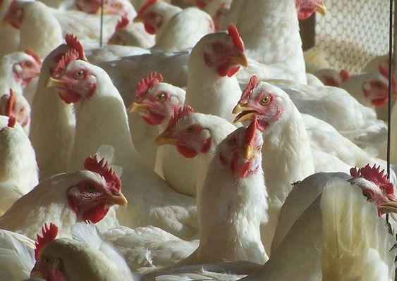 Cuidado con la importación de carne de pollo estadounidense http://www.gastronomiaycia.com/2014/07/21/cuidado-con-la-importacion-de-carne-de-pollo-estadounidense/