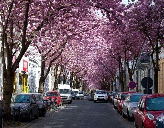 Bonn, Alemania - Heerstrabe (calle de los cerezos en flor) es una tranquila calle cubiertapor hermosos árboles de cerezas. En la primavera l...