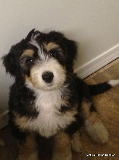 mini bernedoodle Puppy Obsession Pinterest Coloring