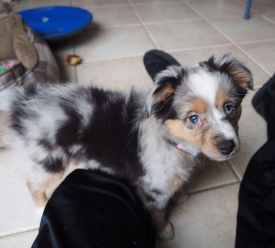 Mini Aussie blue Merle female