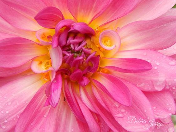 The Pink Dahlia - My Humble Home and Garden