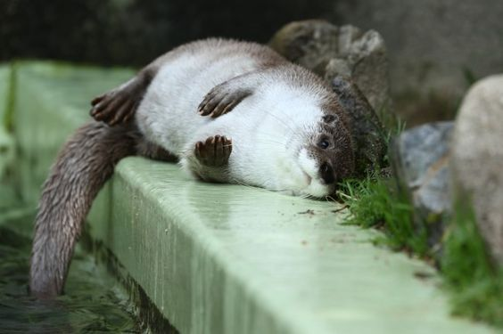 Otter tube: Adorable Animals, Pool, Otters Otters, Otter Ly Adorable, Love Otters, Otter Relaxing, Otters River, Otterly Adorable