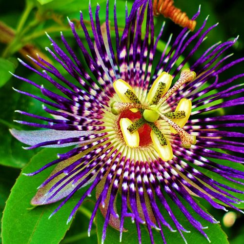 Passion Flower Pure Products Herbalism Passion Flower