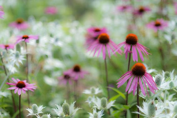 Echinacea, RHS Wisley | Flickr - Photo Sharing!