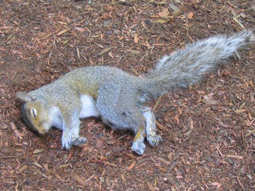 Image Gallery Dead Squirrel