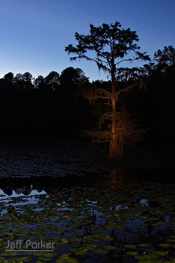 Baldcypress in Caddo State Park Texas; © Jeff Parker / ExploreinFocus.com