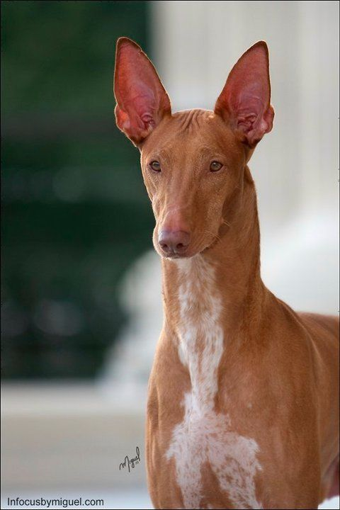 Pharaoh Hound (Kelb tal-Fenek / Klieb tal-Fenek) Puppy Dogs