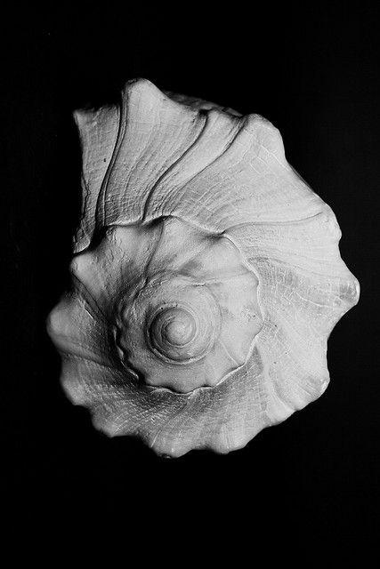 Black and white image of conch spirals by Joshua Davis.