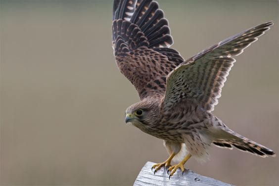 Kestrel by Tony Andersson