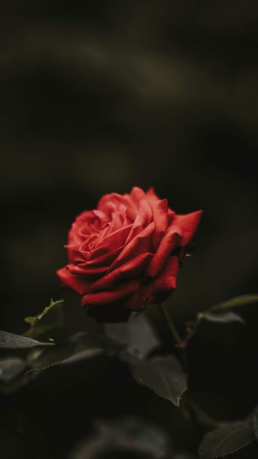 Red Rose With Images Flower Iphone Wallpaper Flower Phone