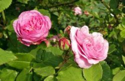 Rosen pflegen – 10 Tipps