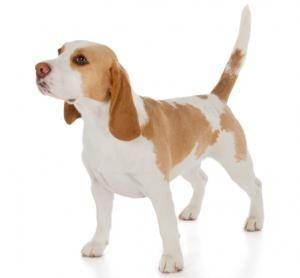 lemon color beagle