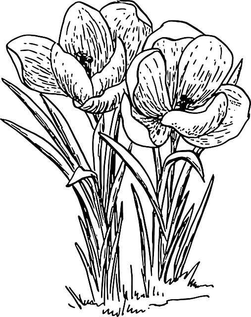 Flower Plant Line Drawing : Free image on pixabay crocus flower plant bulb